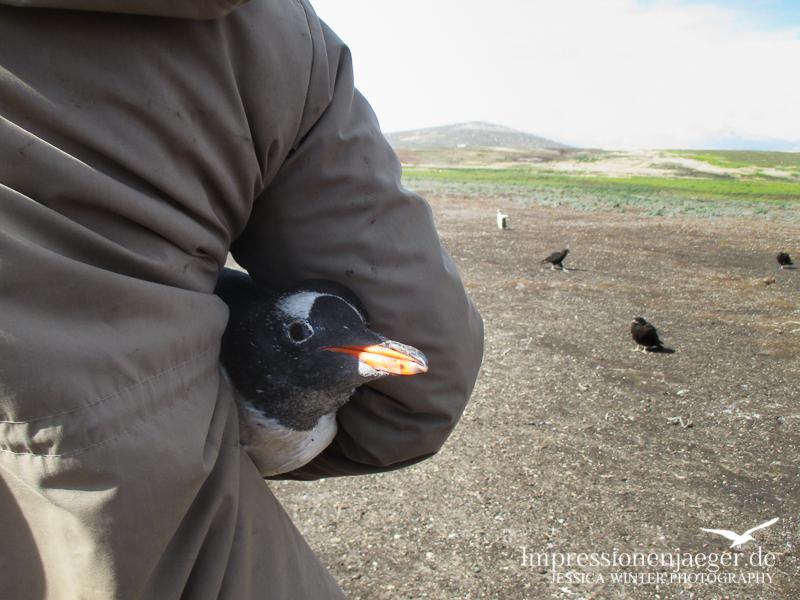 Zuerst wurde der Altvogel gefangen...